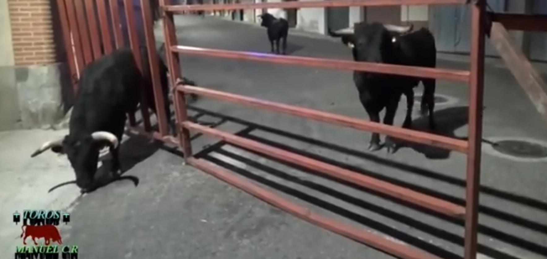 Vídeo | Un toro siembra el pánico al quedar empotrado en un vallado