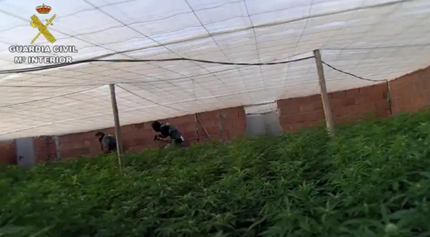 Incautadas 15.800 plantas de marihuana en una macroperación contra el tráfico de droga en Almería