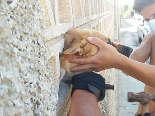 La cabeza de un perro se queda atrapada entre un muro y es liberado por la Policía Local de Picassent