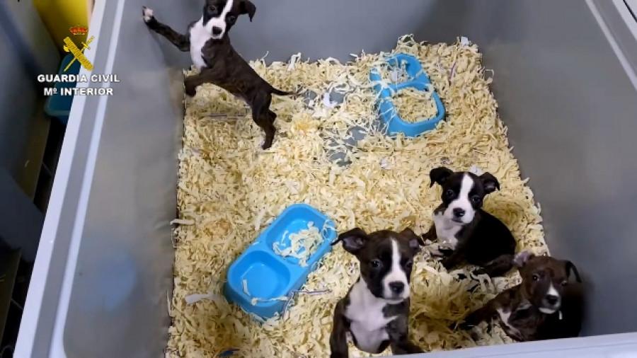La Guardia Civil detiene a cinco miembros de una red dedicada a la venta de cachorros enfermos