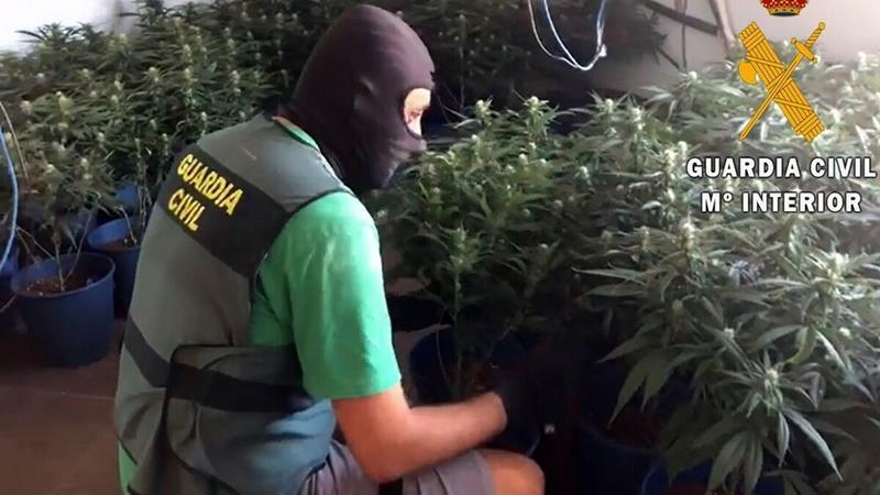 La Guardia Civil interviene 62.000 plantas de cannabis en una plantación de cáñamo en Almería