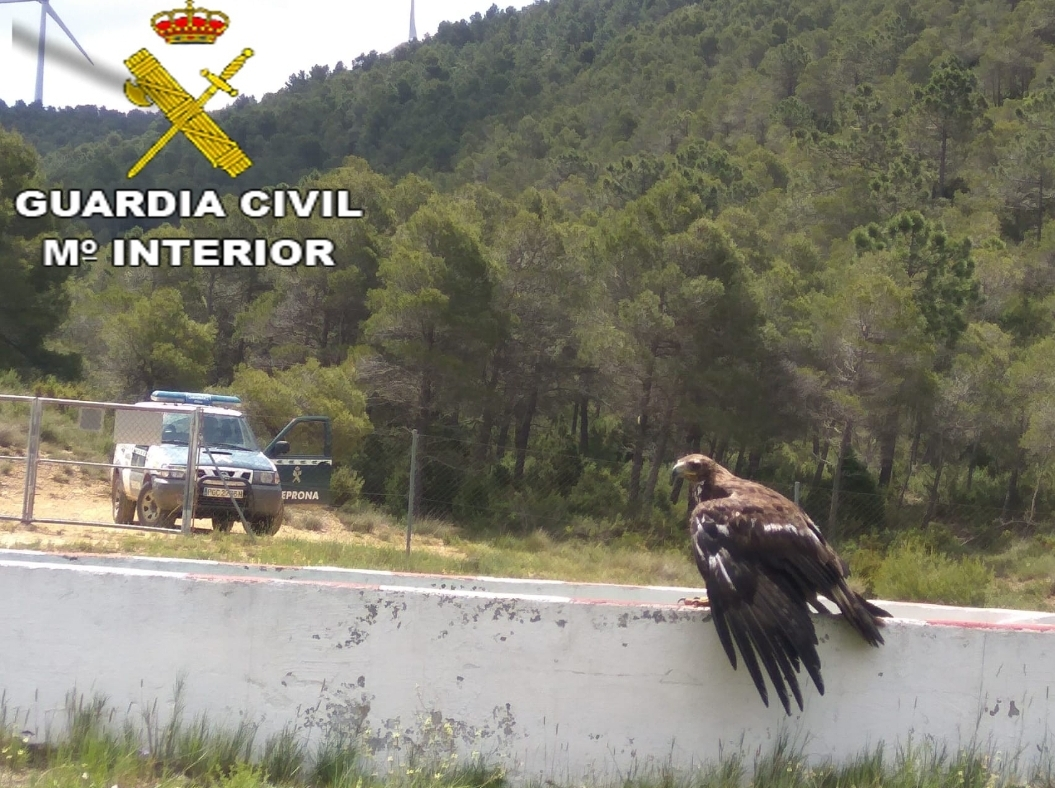 La Guardia Civil rescata a un Águila Real que se encontraba atrapada en un vallado y sin poder volar