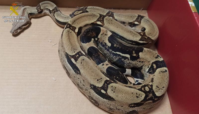 La Guardia Civil incauta una serpiente boa por su venta ilegal a través de redes sociales en Manises